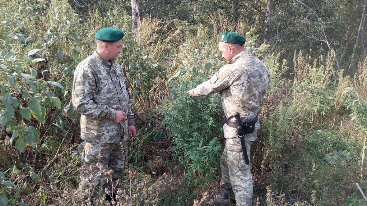 На Сумщине обнаружили насаждения более 420 кустов конопли, фото-2
