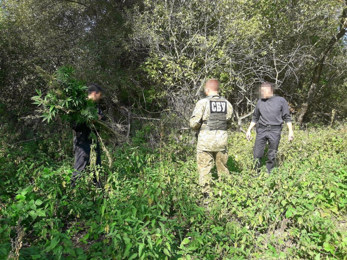 В Сумском районе СБУ уничтожила плантации каннабиса, выращенного для контрабанды в Россию, фото-2