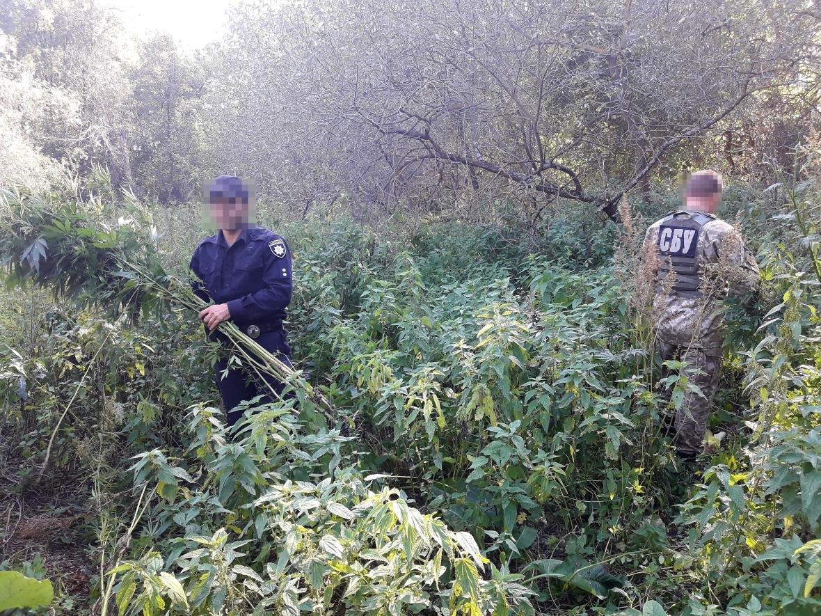В Сумском районе СБУ уничтожила плантации каннабиса, выращенного для контрабанды в Россию, фото-1