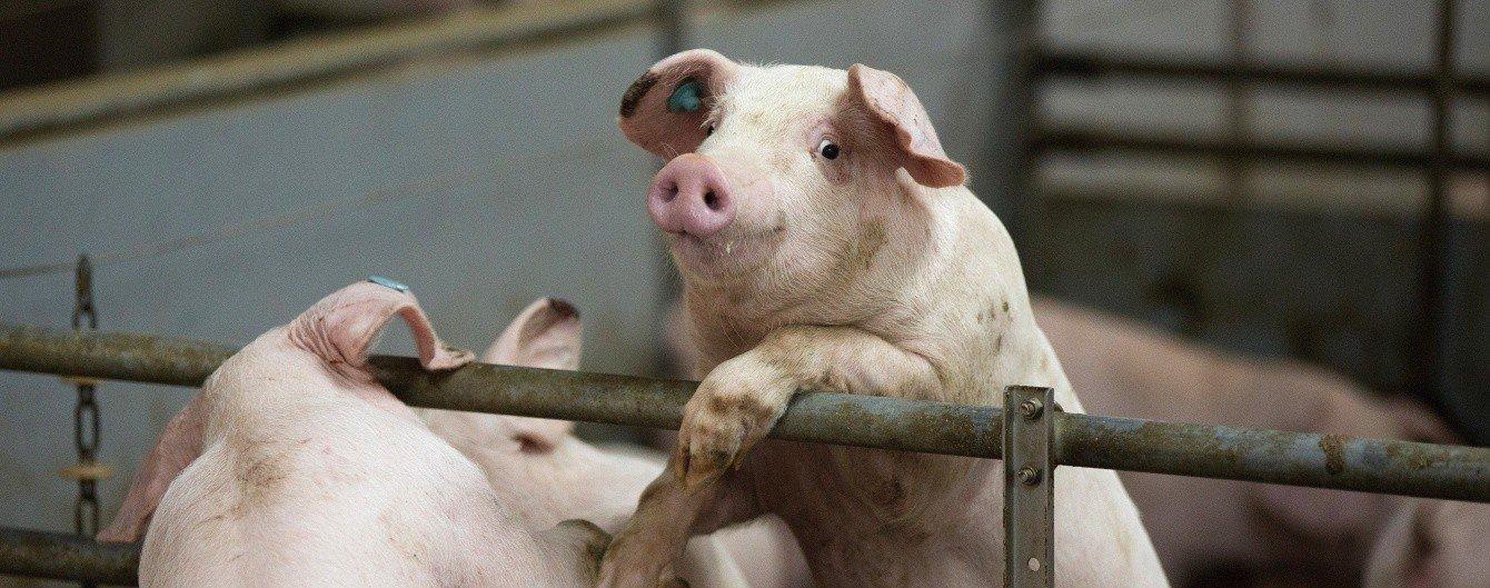 У Сумах на території колонії виявлено африканську чума свиней, фото-1