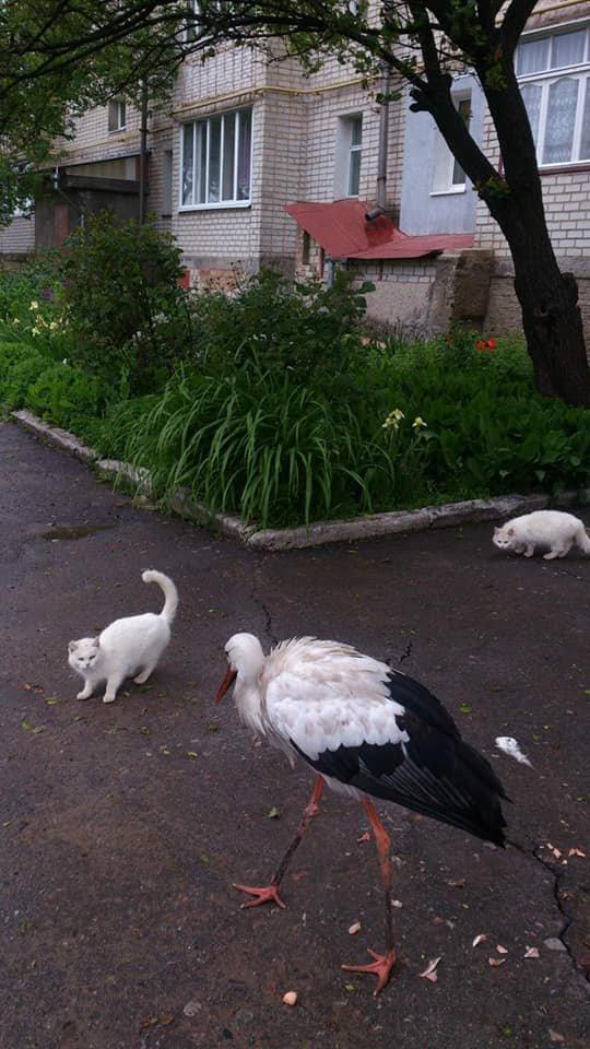 Лелека на ім'я Сеня з Глухова житиме зі страусами на фермі, фото-1