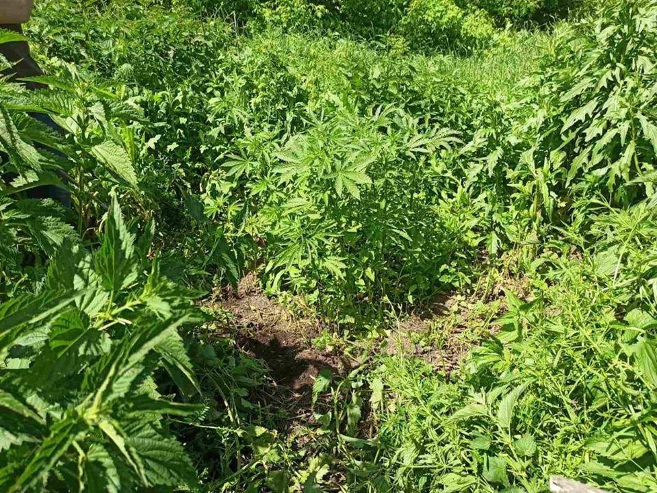 За вирощування коноплі житель Сумщини відповідатиме перед судом, фото-3