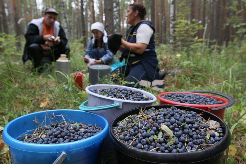 Жителям Сумщини нагадують: рентна плата за збір чорниці в лісі виросла на 4%, фото-1