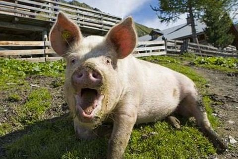 На Сумщині зафіксували випадок сказу свині, фото-1