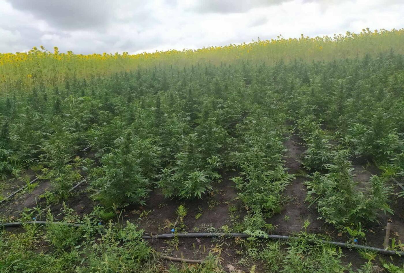 На Сумщині виявили поле конопель, вартість яких близько 7 млн грн, фото-1